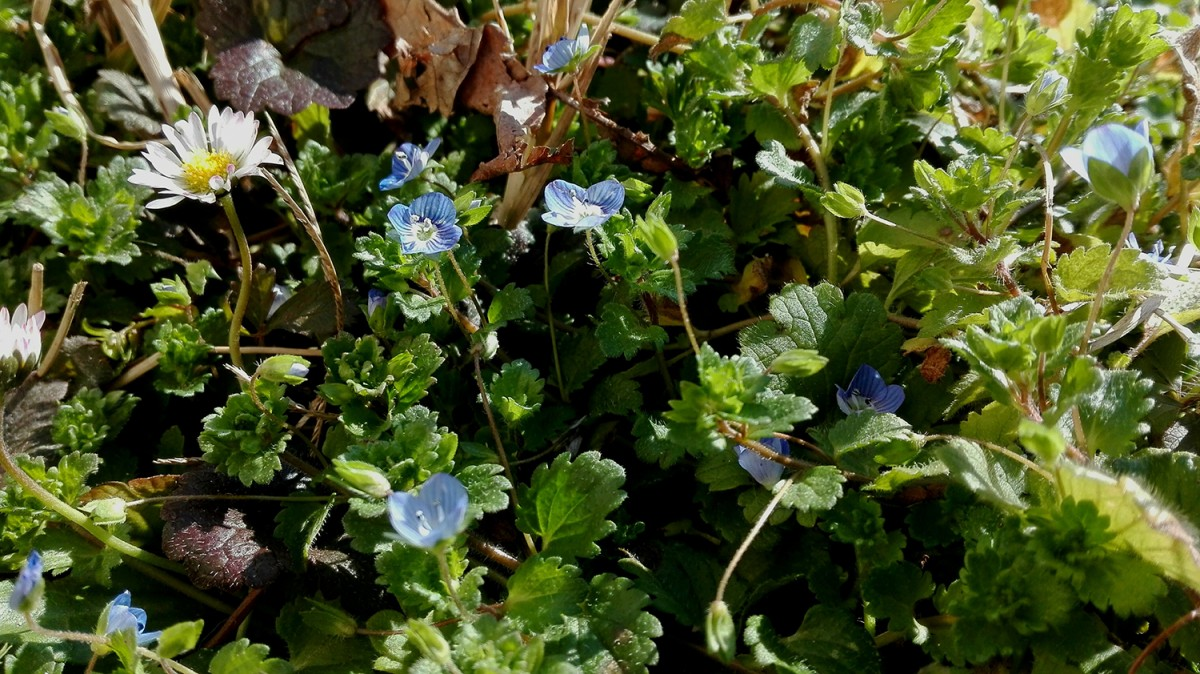 Calicanto Fiore D Inverno prima della primavera | e-gardening